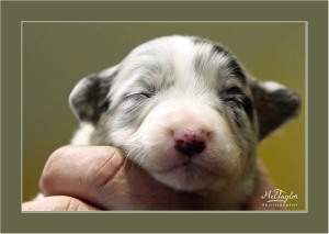 Blue Merle Puppy
