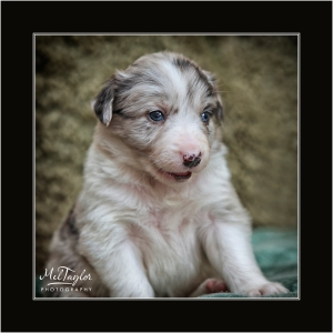 Blue Merle Collie Puppy