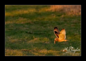 Shorte Eared Owl Hunting