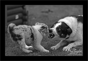 Fighting Collie dog and puppy