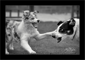 Playing Collies