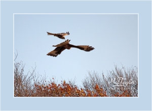 Red Kites Playing