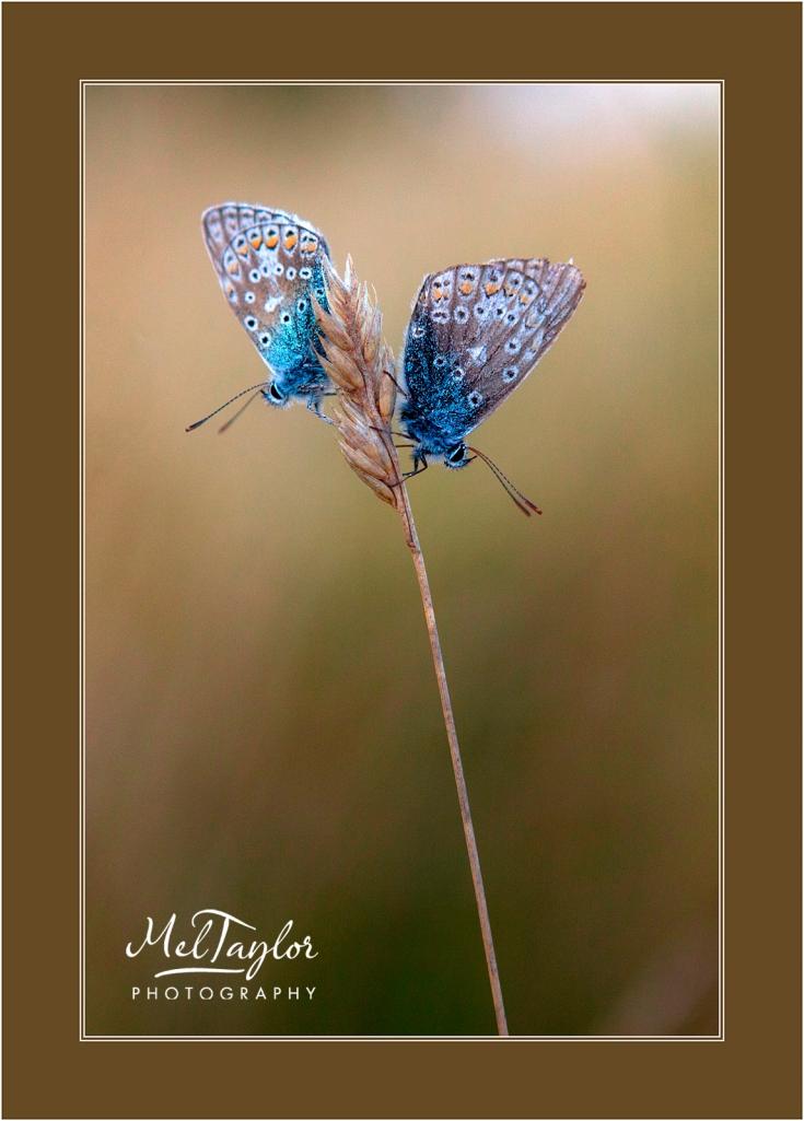 Addonis Blue